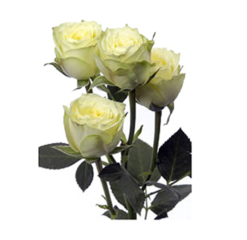 Green with Yellow Cast Spray Rose