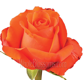 Star 2000 Dark Orange Rose