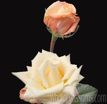 Creamy Pink Stephanie Rose Wholesale Flowers