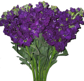 Stock Purple Flower
