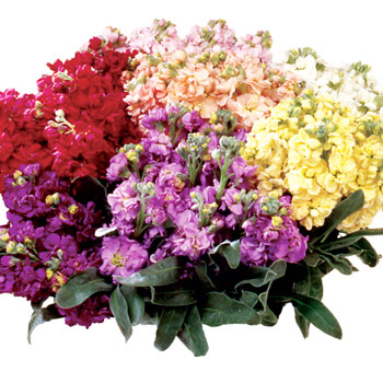 Stock Flower Assorted