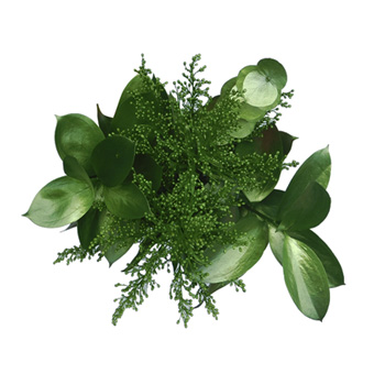 St Patrick Wholesale Tinted Greenery