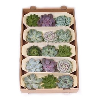 Succulents Trio Gift Box