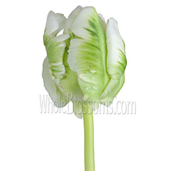 Parrot Green White Tulips