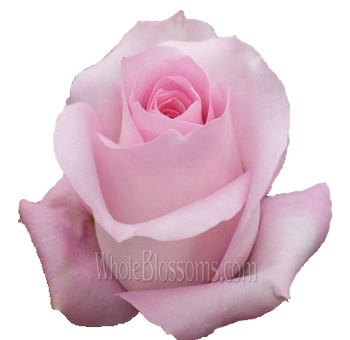 Sweet Akito Pink Rose Wholesale Flowers