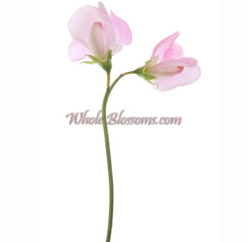 Sweet Pea Pink Flower