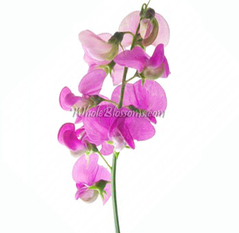 Sweet Pea Flowers Hot Pink