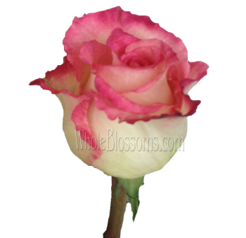 Sweet Unique Pink Organic Roses