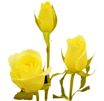 Yellow Sweetheart Roses