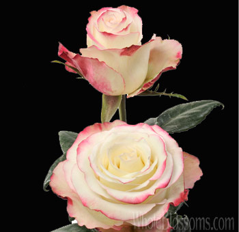 Sweetnesse Wedding Roses