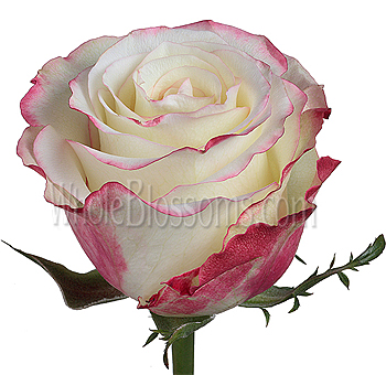 Sweetness Bicolor White and Pink Roses
