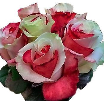 Swirl White and Red Rose Holiday Flowers