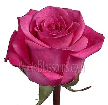 Taiga dark pink roses wholesale taiga dark pink roses mightylinksfo