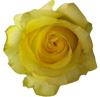 Tara Organic Yellow Rose