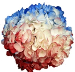 Tie Dye Blue Patriotic Red Hydrangea