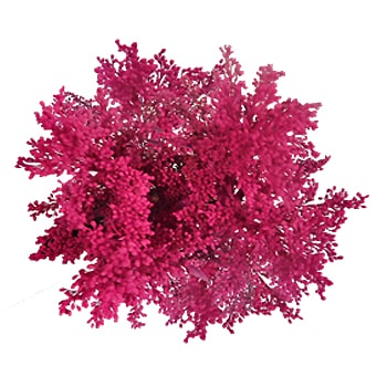 Tinted Hot Pink Aster Solidago Flower