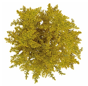 Tinted Yellow Aster Solidago Flower