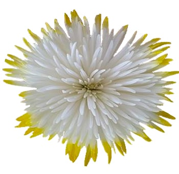 Tips Yellow Mums Anastasia Flower