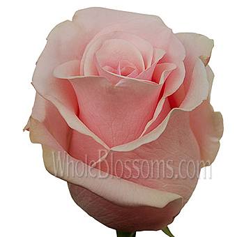 Titanic Roses Wedding Flower