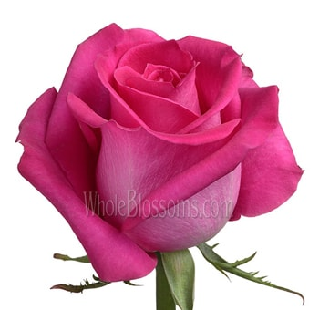 Valentine's Day Hot Pink Organic Roses