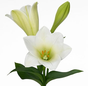 Easter Lily Flower - 2+ blooms