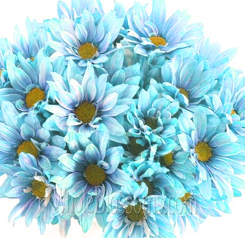 Daisy Poms Tinted Turquoise Blue Flowers