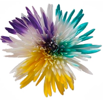 Spider Mums Yellow Purple Turquoise