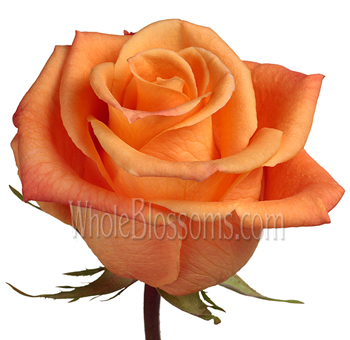 Orange Unique Orange Rose