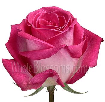 Verdi rose dark pink wholesale wedding roses verdi bicolor dark pink roses mightylinksfo