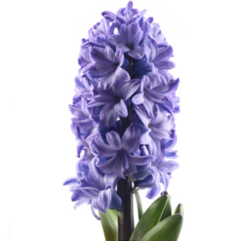 Hyacinth Blue Violet Flower