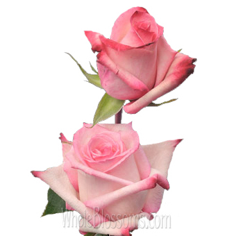 Vogue Bicolor Dark Pink Roses