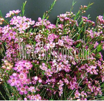 waxflower-dark-pink-purple