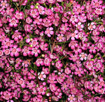 waxflower-dark-pink