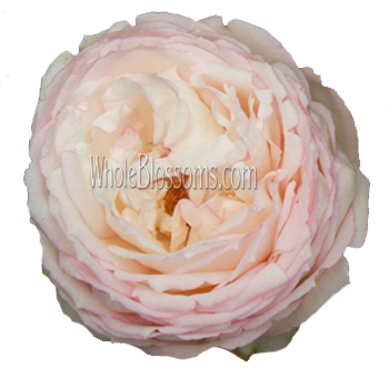 Blush Garden Rose Flower