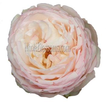 blush garden rose flower