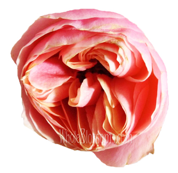 Peach Garden Rose cream garden rose classic woman at wholesale prices