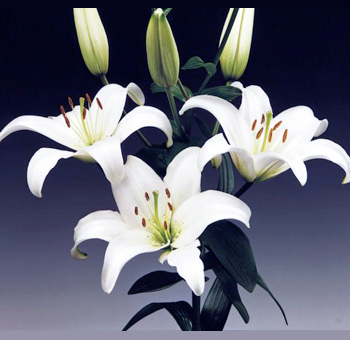 White Asiatic Lily Flowers