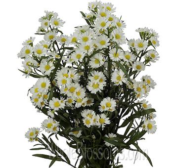 white aster flower, Beautiful flower
