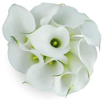 White Blush Wedding Long Mini Calla Lilies