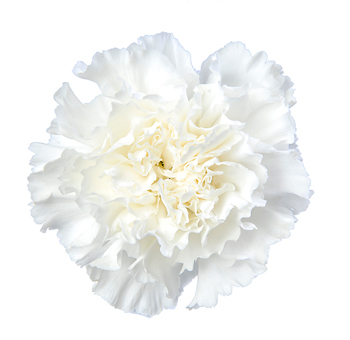 Fancy White Carnations