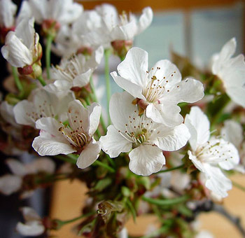Cherry Blossom Branch – White Flowers [1.5-3 Feet]
