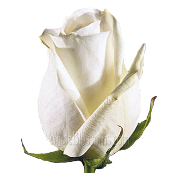 White Cream Wholesale Rose Polo