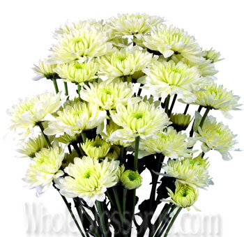 Cushion Pom Chrysanthemum White Flowers