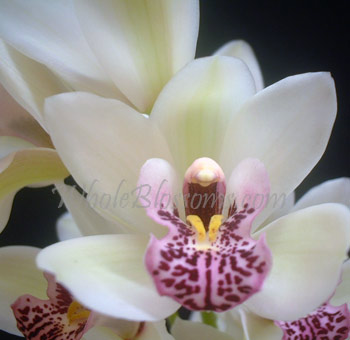 White Mini Cymbidium Orchid