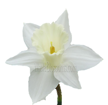 Daffodil White Flower