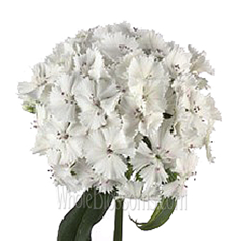 Dianthus White Flower