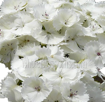white-dianthus-flowers