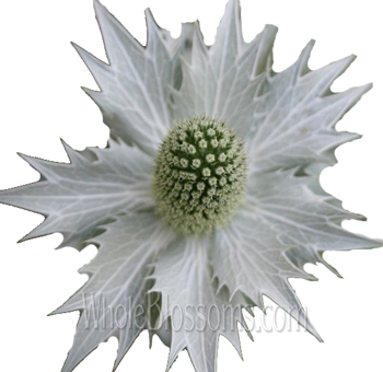 Thistle Eryngium Tinted White Flower