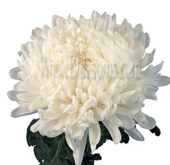 White Football Mum Flowers