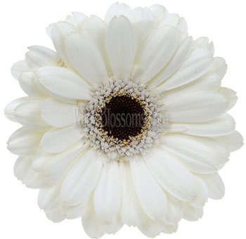 White Gerbera Daisy Flower | Dark Center